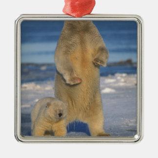 polar bear, Ursus maritimus, sow with cub 2 Square Metal Christmas Ornament