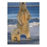 polar bear, Ursus maritimus, sow with cub 2 Postcards
