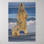 polar bear, Ursus maritimus, sow with cub 2 Poster