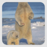 polar bear, Ursus maritimus, sow with cub 2 Square Sticker