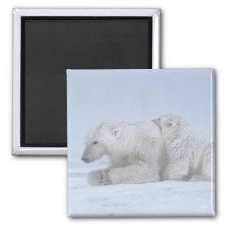 polar bear, Ursus maritimus, sow with cub Magnet