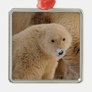 polar bear, Ursus maritimus, sow with cub Square Metal Christmas Ornament