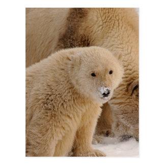 polar bear, Ursus maritimus, sow with cub Postcard