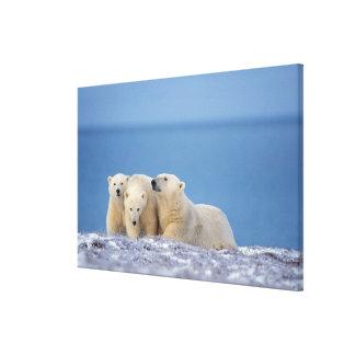 polar bear, Ursus maritimus, sow with cubs Canvas Print