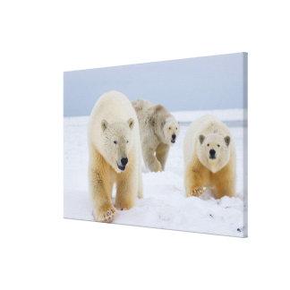 polar bear, Ursus maritimus, sow with cubs on 2 Canvas Print