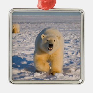 polar bear, Ursus maritimus, sow with cubs on 2 Square Metal Christmas Ornament