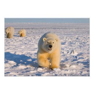 polar bear, Ursus maritimus, sow with cubs on 2 Photograph