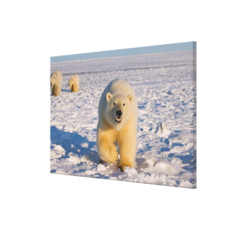polar bear, Ursus maritimus, sow with cubs on 3 Canvas Print