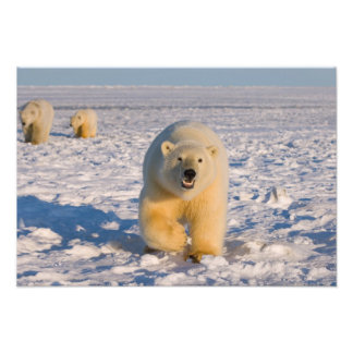 polar bear, Ursus maritimus, sow with cubs on 3 Photo Art