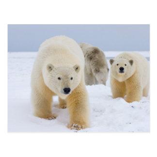 polar bear, Ursus maritimus, sow with cubs on 3 Postcard
