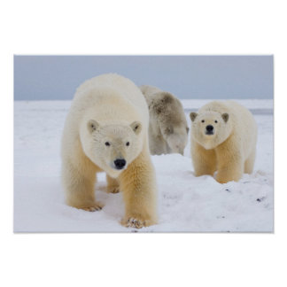 polar bear, Ursus maritimus, sow with cubs on 3 Poster