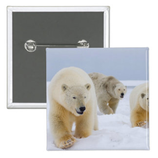polar bear, Ursus maritimus, sow with cubs on Button