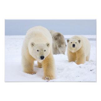 polar bear, Ursus maritimus, sow with cubs on Photo Print