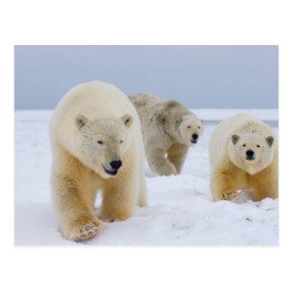 polar bear, Ursus maritimus, sow with cubs on Postcard
