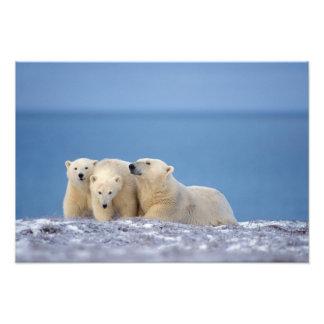polar bear, Ursus maritimus, sow with cubs Photograph