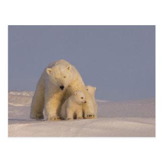polar bear, Ursus maritimus, sow with newborn 2 Postcard