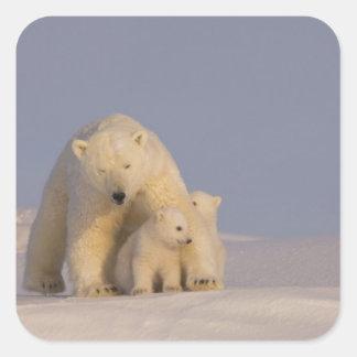polar bear, Ursus maritimus, sow with newborn 2 Square Sticker