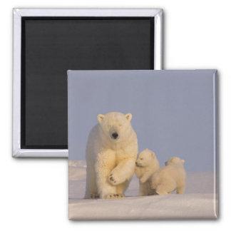 polar bear, Ursus maritimus, sow with newborn 3 Magnet