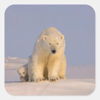 polar bear, Ursus maritimus, sow with newborn Square Sticker