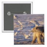 polar bear, Ursus maritimus, with 2 Inch Square Button