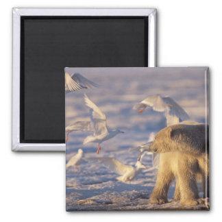 polar bear, Ursus maritimus, with Magnet