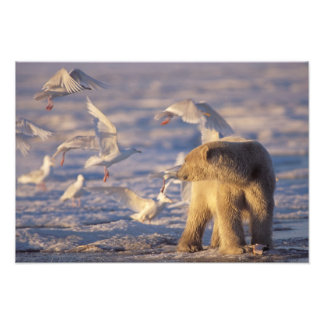 polar bear, Ursus maritimus, with Photo Print