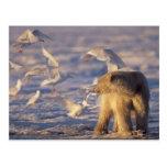 polar bear, Ursus maritimus, with Postcard