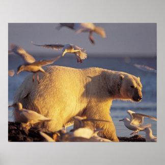polar bear, Ursus maritimus, with Poster