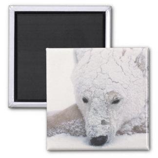 Polar Bear, Urus Maritimus, Arctic, Churchill, 2 Inch Square Magnet