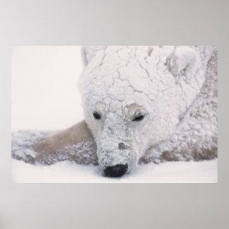 Polar Bear, Urus Maritimus, Arctic, Churchill, Poster