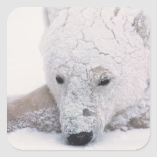Polar Bear, Urus Maritimus, Arctic, Churchill, Square Stickers