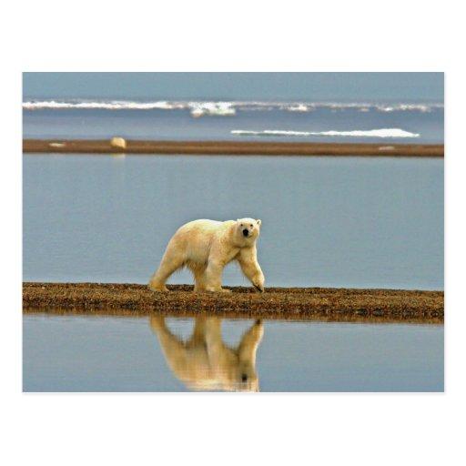 Polar bear walking along the coast postcard