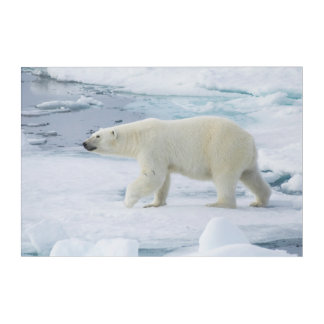 Polar bear walking, Norway Acrylic Wall Art