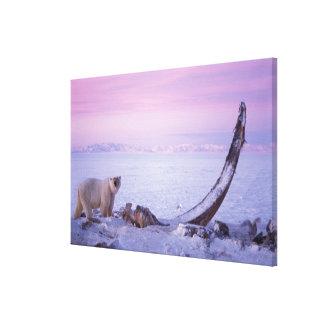 Polar bear with bowhead whale carcass on pack canvas print