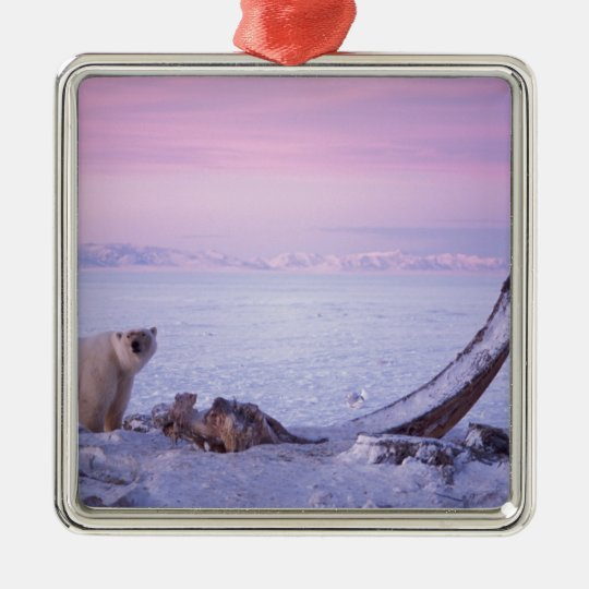 Polar bear with bowhead whale carcass on pack metal ornament