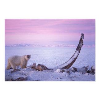 Polar bear with bowhead whale carcass on pack photo print