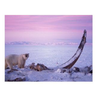 Polar bear with bowhead whale carcass on pack postcard