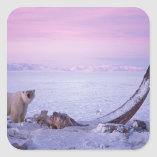 Polar bear with bowhead whale carcass on pack square sticker