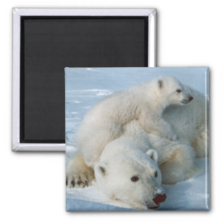 Polar_bear_with_cub Bear Lovers 2 Inch Square Magnet