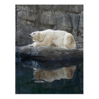 Polar Bear with Reflection Postcard