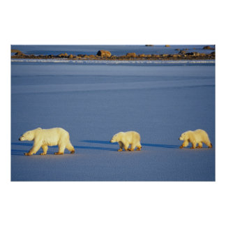 Polar Bear with Two Cubs Poster