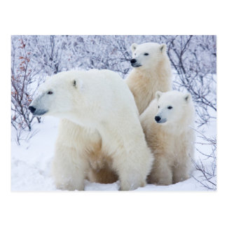 Polar Bears and Two cubs Postcard