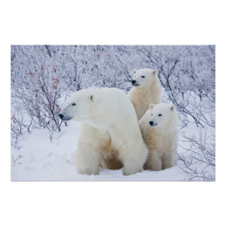 Polar Bears and Two cubs Poster