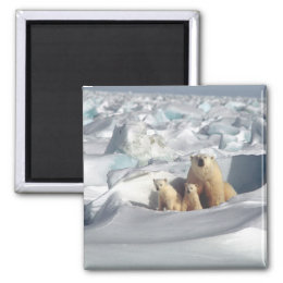 Polar Bears Arctic Wildlife Square Magnet