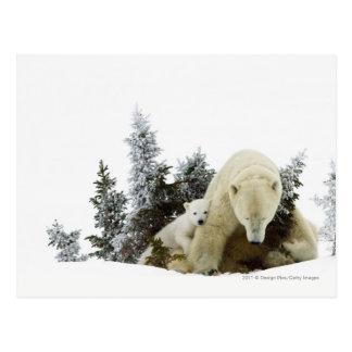 Polar Bears At Wapusk National Park Postcard