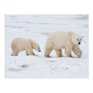 Polar Bears female and Two cubs 2 Postcard