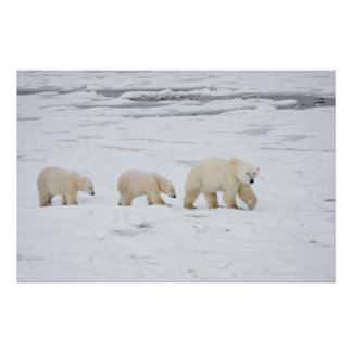 Polar Bears female and Two cubs 2 Posters