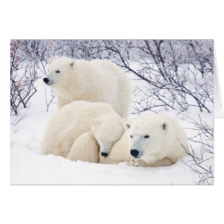 Polar Bears female and Two cubs 3 Card