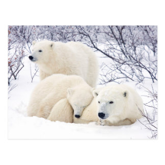 Polar Bears female and Two cubs 3 Postcard