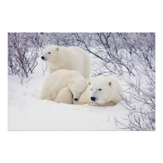 Polar Bears female and Two cubs 3 Poster
